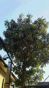 狭山のビワの木②